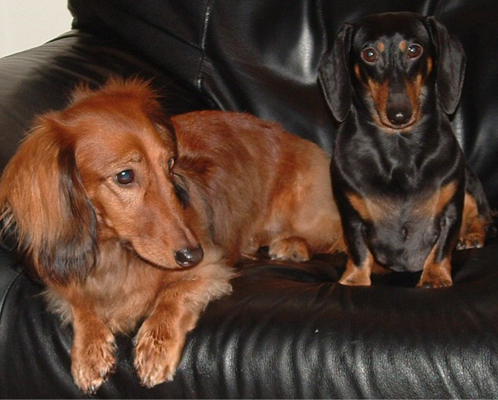 Dogs - Dachshunds
