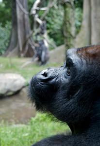 Western_Lowland_Gorilla