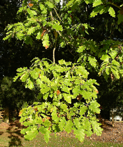White_oak_foliage