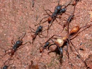 Eciton_burchellii_army_ants