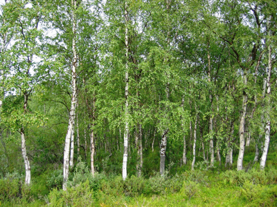 Betula_pendula_Finland