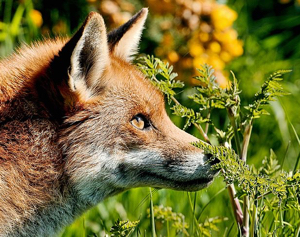 Patent Docs: Red Fox Genome Sheds Light on Domesticated Dogs