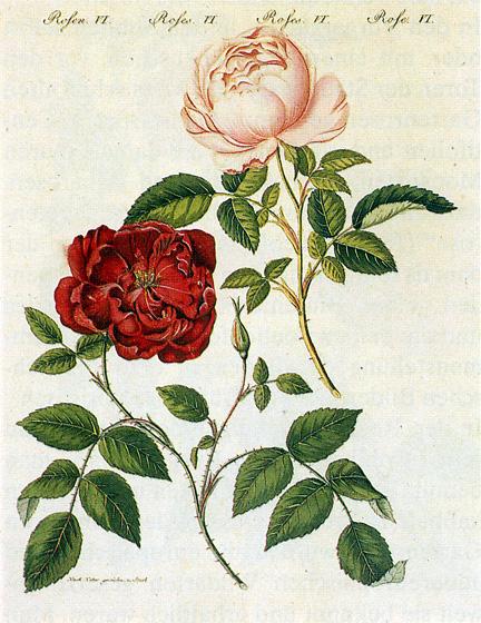 Rosa_chinensis_1795